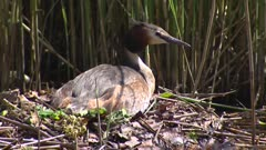 Great crested grebe (podiceps cristatus) on nest - close up