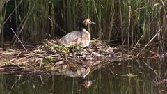 Great crested grebe (podiceps cristatus) on nest