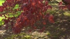 Japanese Maple tree Acer Bloodgood in spring foliage - tilt up