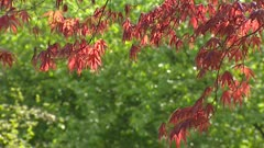 Branch of Japanese Maple tree Acer Bloodgood