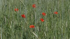 poppies blooming in corn field secale cereale. Winter rye is any breed of rye planted in the fall to provide ground cover for the winter
