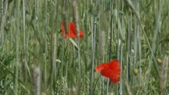 poppies blooming in corn field secale cereale - close up. Winter rye is any breed of rye planted in the fall to provide ground cover for the winter