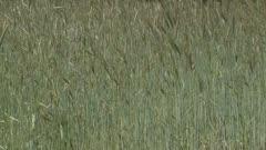 corn field (rye) waving in wind.  Rye grain is used for flour, rye bread, rye beer, whiskey, vodka and animal fodder.