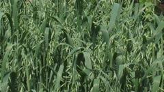 common oat field, avena sativa waving in wind.