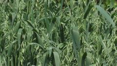 common oat field, avena sativa waving in wind - medium shot