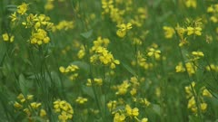 Yellow flowers of black mustard (Brassica nigra), cultivated for its seeds, which are commonly used as a spice.