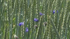 Triticum spelta + cornflowers - Spelt is a hardy wheat grown mostly in Europe for health food.