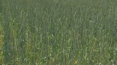 Triticum spelta + cornflowers - pan. Triticum spelta is hardy wheat which is popular in organic farming as it requires fewer fertilizers
