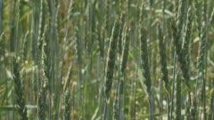 Triticum spelta, spelt. Triticum spelta is hardy wheat which is popular in organic farming as it requires fewer fertilizers