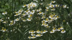 chamomile, scented mayweed, blooming in field edge. Extracts of scented mayweed have been used in the pharmaceutical, food and cosmetic industries.