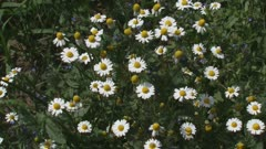 chamomile, scented mayweed, blooming in field edge - medium shot. Extracts of scented mayweed have been used in the pharmaceutical, food and cosmetic industries.