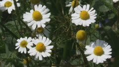 chamomile, scented mayweed, blooming in field edge - close up. Extracts of scented mayweed have been used in the pharmaceutical, food and cosmetic industries.