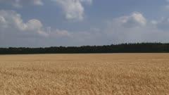 hordeum vulgare - barley field  +  pan to rye field