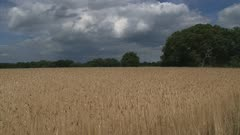 rye field pan left to dark cloud + light disappears. Rye grain is used for flour, rye bread, rye beer, whiskey, vodka and animal fodder.
