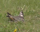 Northern Lapwing, Vanellus vanellus, on nest on the ground - calling, detects possible danger