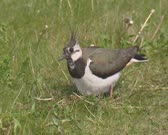 Northern Lapwing, Vanellus vanellus near nest on the ground - calling, detects possible danger. On camera.