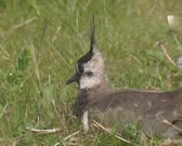 Northern Lapwing, Vanellus vanellus female nests on the ground  - calling, detects possible danger. Nests are built in short grass