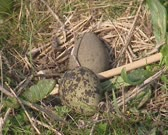 Bird nest with speckled eggs of the Northern Lapwing, Vanellus vanellus. Eggs are laid in a scrape or shallow ground with short grass.