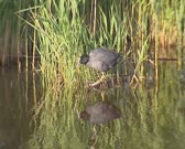 Common coot (fulica atra) on floating vegetation + plunges into the water