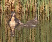 Great crested grebe (podiceps cristatus) with offspring in ditch - close up