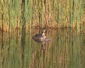 Great crested grebe (podiceps cristatus) with offspring in ditch - medium