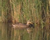 Wild Duck female mallard - anas platyrhynchos with ducklings in ditch swim along reeds, chicks follow.