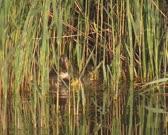 Wild Duck female mallard - anas platyrhynchos with ducklings, hidden in reeds, carefully move.