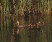 Wild Duck female mallard - anas platyrhynchos with ducklings swimming in ditch, chicks follow.