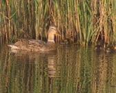 Wild Duck female mallard - anas platyrhynchos watching over her ducklings, foraging in reeds.