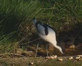 Pied Avocet (Recurvirostra avosetta) foraging