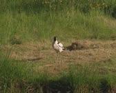 Pied Avocet (Recurvirostra avosetta) preening