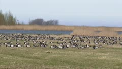 Migrating Barnacle geese (Branta leucopsis) forage in meadow Dutch polder, Groningen, The Netherlands.