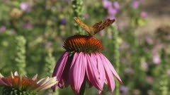 Comma butterfly (Polygonia c-album)  feeds on nectar echinacea purpurea