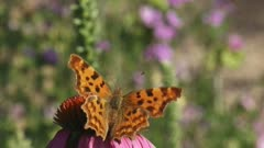 Comma butterfly (Polygonia c-album)  flying lands on echinacea purpurea feeds on nectar