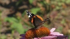 Vanessa Atalanta, Red Admiral butterfly feeds on nectar of echinacea purpurea