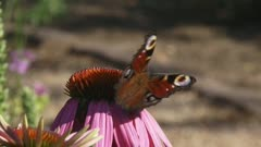 European peacock butterfly (Inachis io,)  feeds on nectar of echinacea purpurea
