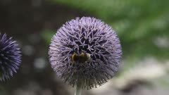 Bee feeds on nectar Globe Thistle (echinops ritro) - close up