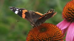Red Admiral (Vanessa Atalanta) butterfly feeds on nectar of echinacea purpurea - damaged wings