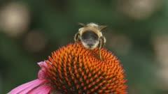 Honey bee feeds on nectar Purple coneflower (echinacea purpurea) + departs extreme closeup