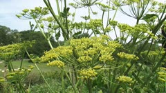 Parsnip, pastinaca sativa - flower, fruits and seeds. The root of the parsnip is edible, the shoots and leaves of the plant are toxic.