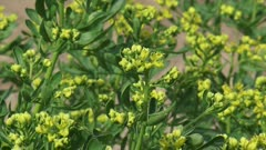 Common rue - ruta graveolens in bloom - full screen. Rue is a traditional flavouring herb in Greece and other Mediterranean countries.