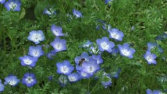 Baby blue eyes ( Nemophila menziesii ) in bloom + honey bee buzzing - high angle. Baby Blue Eyes is delicate little plant, native to California.