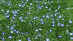 Carpet of Baby blue eyes ( Nemophila menziesii ) in bloom - high angle. Baby Blue Eyes is delicate little plant, native to California.