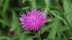 Brown Knapweed (Centaurea jacea) in bloom