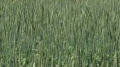 Triticum spelta - full screen. Triticum spelta is hardy wheat which is popular in organic farming as it requires fewer fertilizers.