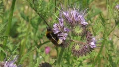 Bee feeds on nectar Phacelia. Phacelia is an insectary plant that attracts pollinators such as honey bees and other beneficial insects.