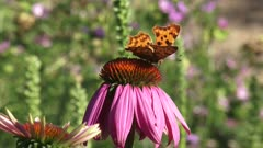 Comma butterfly (Polygonia c-album) feeds on nectar Purple coneflower, echinacea purpurea - side view