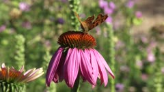 Comma butterfly (Polygonia c-album) feeds on nectar echinacea purpurea in summer breeze