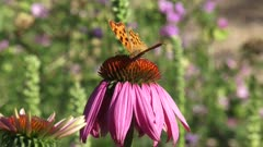 Comma butterfly (Polygonia c-album)  feeds on nectar Purple coneflower, echinacea purpurea - eye level