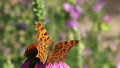 Comma butterfly (Polygonia c-album) flies and lands on Purple coneflower, echinacea purpurea looking for nectar.